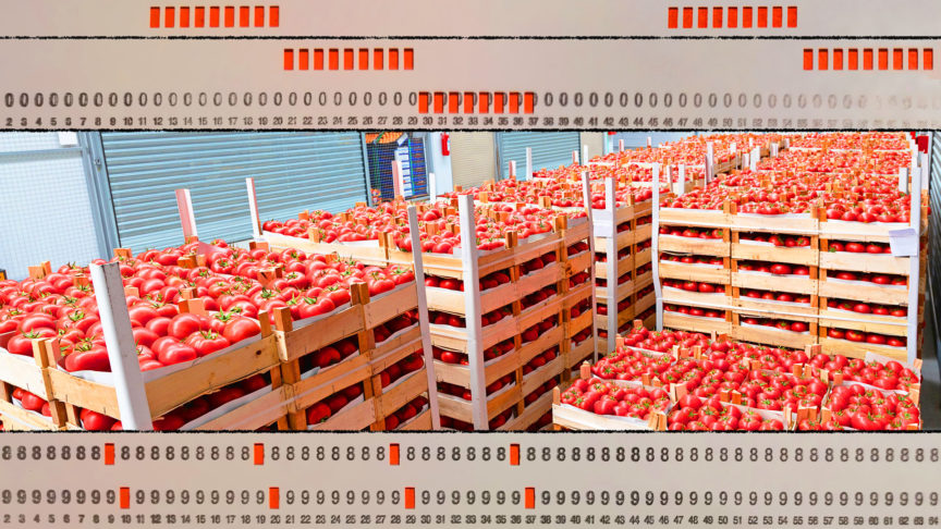Tomatoes as far as the eye can see.