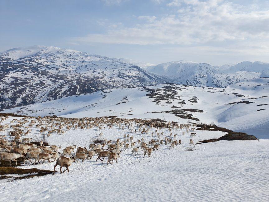 South Saami reindeer migration.