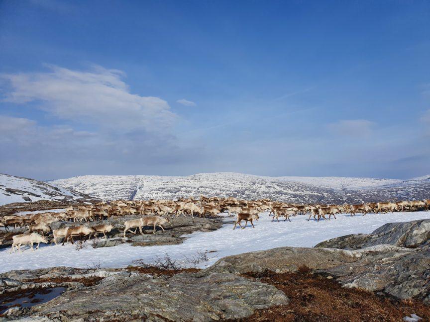 Reindeer herding in Jillen-Njaarke.